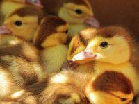 Analisa Ternak Bebek Petelur dan Pedaging Yang Menguntungkan